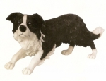Hundefigur Border Collie in Habachtstellung